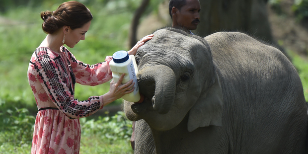 Catherine, Duchess of Cambridge feeds a baby elephant during a visit to the Centre for Wildlife Rehabilitation and Conservation at Kaziranga National Park. Photo / Getty