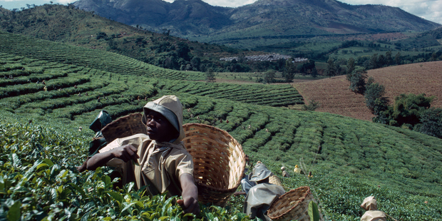 Workers with baskets harvest tea leaves on lush terraced slopes in Mozambique. Photo / Getty Images