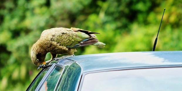 A kea attacks a car. Photo / Stewart Baird