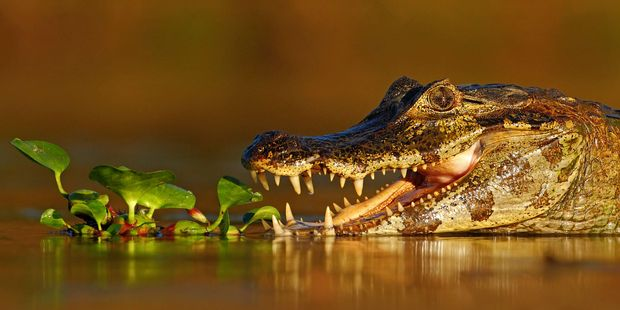 A caiman waits for his chance for a feed. Photo / 123RF