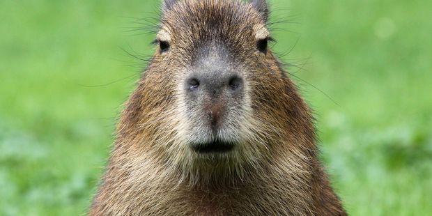 You'll see wildlife such as capybara. Photo / 123RF