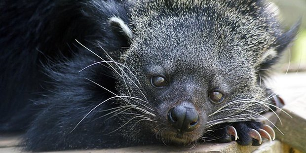 The binturong, of the civet family, emits a not too unpleasant smell. Photo / Carolina Tiger Rescue