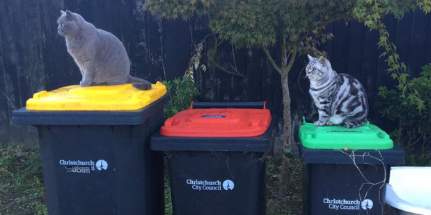 """""""My cats like to guess what bin week it is,"""" writes Beck. """"But they got it wrong this week because it's RED and green. Idiots."""" Photo / Supplied"""