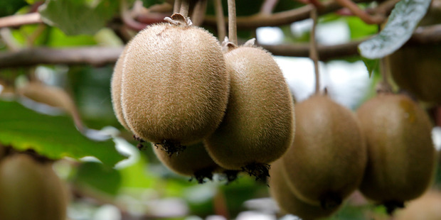 Kiwifruit consistently rank at the top of fruit in nutrition density models. Photo / File