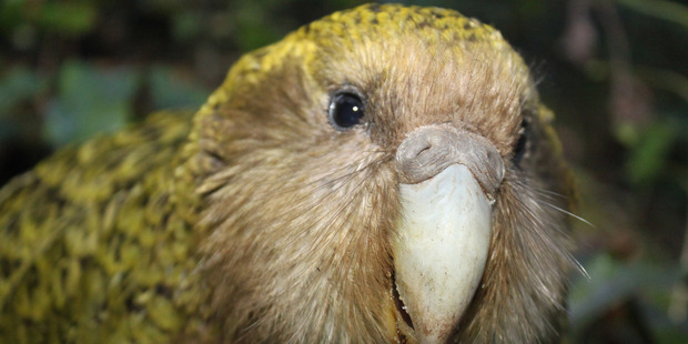 The Telegraph described our humble Kakapo as 'extraordinary'. Photo / Supplied