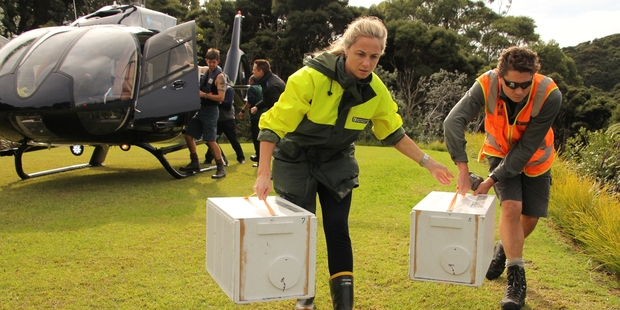 DoC rangers Ana Mules and Andrew Blanshard carry freshly delivered boxes of popokotea (whiteheads) to their new home on Motuarohia Island during last year's Project Island Song translocation. Photo / Peter de Graaf