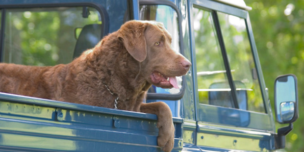 Dogs travelling on the back of cars will now have to be secured. Photo / iStock