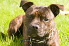A Staffordshire terrier. The dogs that attacked the 23-year-old woman were Staffordshire cross dogs.