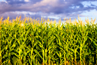 Police said a member of the public had observed the group stopping on the roadside on Thursday and jumping the fence into a paddock of maize. Photo / iStock