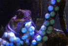 Inky's escape from its tank at National Aquarium of New Zealand in Napier has made headlines around the world.