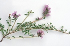 As asthma causes irritation within the lungs, thyme and aniseed combine well with medicinal plants that help reduce this inflammation. Photo / Getty