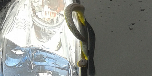 Loading A snake has made an appearance in a Nissan Leaf at the North Shore yard, surprising staff and customers. Photo / Supplied