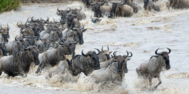 Wildebeest migration. Photo / 123RF