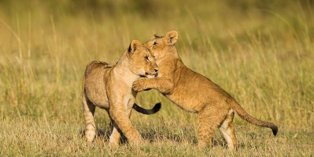 Lion cubs play on the Masai Mara. Photo / 123RF