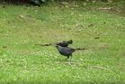A Kokako bird falls down. Photo: Wesley  Webb/ YouTube
