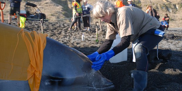 HELPING: DOC ranger Julia Brady splashes seawater on a 5.2m-long Cuvier's beaked whale that stranded at Whangaimoana Beach on Wednesday. PHOTO/NATHAN CROMBIE