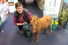 Fiona Pascoe, president of the Northland Miniature Horse Club, with Sassy at the Northern Advocate office.