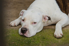 The amnesty will last until June 30th and is available to menacing dogs, particularly American Pit Bull Terriers. Photo / iStock