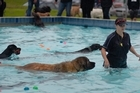 Zero the Leonberger proves size is no impediment in the water. Photo/George Novak