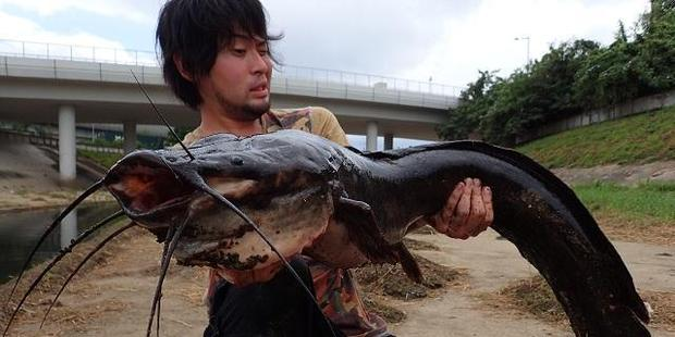Hiroshi grapples with the monstrous catfish. Photo / Monsters Pro Shop