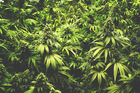 Police seized over 2000 cannabis plants. Photo / iStock