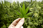 Ministry of Health figures show it received 79 applications to use medicinal cannabis between the beginning of 2013 and March this year and authorised 75. Photo / iStock