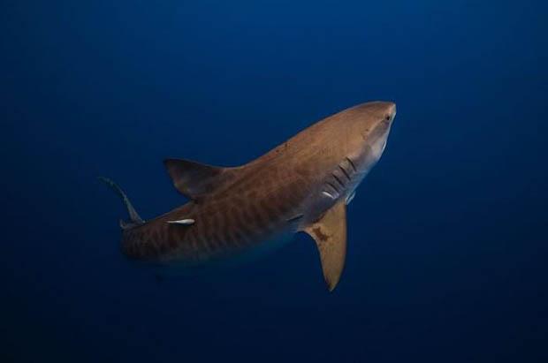 A Tiger Shark taken in natural light while free diving. Photo / Matt Draper