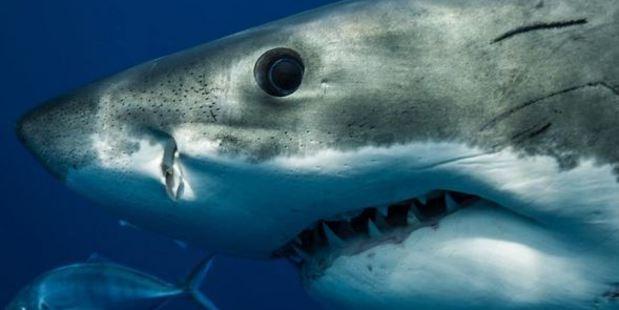 """Underwater photographer Matt Draper said the attitude that """"a good shark is a dead shark"""" is where we're going wrong. Photo / Matt Draper"""