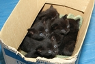 These 4-week-old kittens were discovered at Whananaki South Reserve last week. Photo / Whangarei SPCA