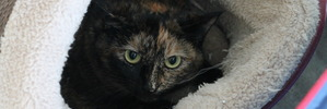 Bobbie is a shy two-year-old cat looking for a home.