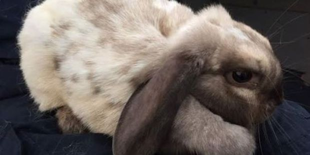 Bunita is a friendly, fun rabbit, looking for a home.