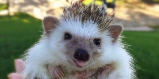 """""""Who, Me?"""" Huff the hedgehog is finding fame on Instagram. Photo / huffthehedgehog/Instagram"""