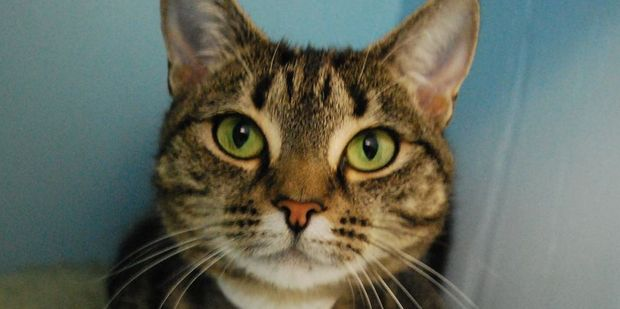 Jade is a gentle tabby who loves attention.