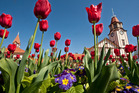 The city's popular Tulip Festival will be run by an out-of-town company this year.  Photo/Ben Fraser