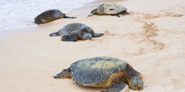 Sea turtles at Turtle Bay on Oahu. Photo / Supplied