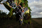 WINDS OF CHANGE: Changing climate could influence harvest times and wine styles. PHOTO/File