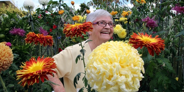 FLOWERING: Shirley Hill loves growing chrysanthemums.PHOTO/ STUART MUNRO