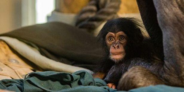 Hamilton Zoo's baby chimp needs a name.