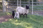 Black, pictured with her twins, Mag and Pie, which came into the world early on Thursday. They may be the region's first lambs for the season. Photo / Keri Chambers