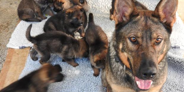 Gypsy, sister of slain police dog Gazza, and some of her litter of 11 puppies. They are 4.5 weeks old. Photo/Police Dog Trust