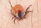 Ticks are known to spread Lyme disease. Photo / iStock