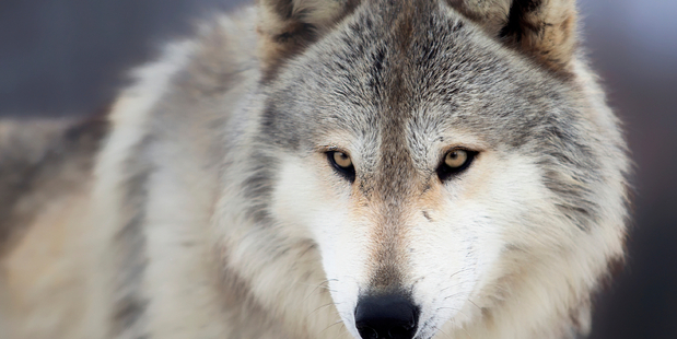 A North American Gray Wolf. Photo / iStock