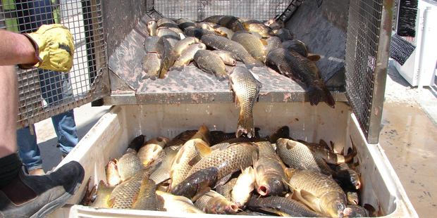 Carp fished out of the Murray River, New South Wales.