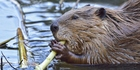 Beavers are more usually found near streams or lakes, not metro stations. Photo / Getty