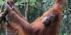Nyaru, a Sumatran orangutan like this, will be flying to Indonesia on Tuesday. Photo / Getty