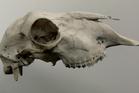 Still of a sheep skull from Mono by Clinton Watkins.
