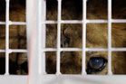 A former circus lion peers from inside a cage during their arrival at OR Tambo International airport in Johannesburg, South Africa. Photo / AP