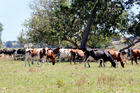 Cows . . . could they benefit from aromatherapy?