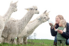 Get up close with alpacas this weekend.