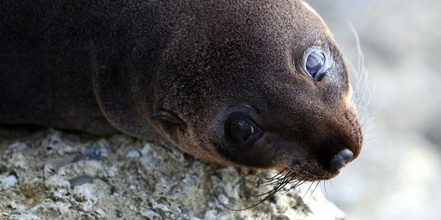 A New Zealand fur seal. Photo / NZME.